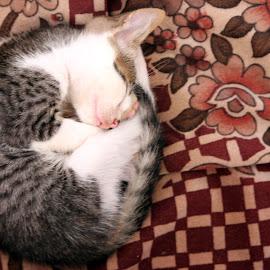 Kitten Sleeping by Abhijit Dhande - Animals - Cats Kittens ( kitten, cat, lazy, sleeping, cute,  )