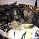 American shorthair - tortishell female