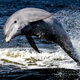 dolphin jumping by Diane Davis - Animals Other Mammals