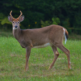 Un beau p'tit Buck by Mario Monast - Animals Other Mammals ( animal portrait, animals, buck, deer )