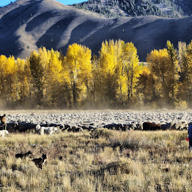 Sheep Trailing by Dave Bower - Animals Other
