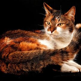 Portrait by John Phielix - Animals - Cats Portraits (  )