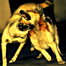 D O G    F I G H T by Subal Soral - Animals - Dogs Playing ( playing, fight, dog,  )