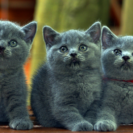by Cacang Effendi - Animals - Cats Kittens ( cattery, cats.kitten, chandra, animal, baby, young )