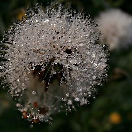 White Gem At Rain by Marija Jilek - Nature Up Close Other plants ( rong sow thistle, nature, white gem seeds, drops, plants, sonchus asper, rain )