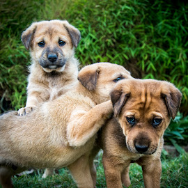 Look at Me by Shivaang Sharma - Animals - Dogs Puppies ( playing, puppies, nature, india, puppy, dog, portrait, animal )