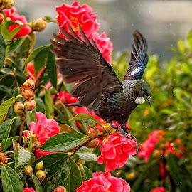Tui Coming in for a landing by Stewart Baird - Animals Birds ( bird, flight, tui, native, new zealand, bellbird )