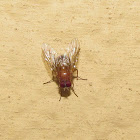 Vinegar fly