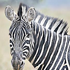 Zebra Portrait by Pieter J de Villiers - Animals Other ( mammals, animals, other, north-west, zebra, portrait, pilanesberg national park,  )