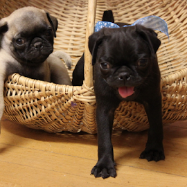 Pug puppies ...  by Desiree Havenga - Animals - Dogs Puppies