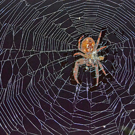 Spider  by Skip Thompson - Novices Only Wildlife ( animals, spiders, spiderweb, pets, spider, spider web )