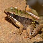 Warszewitsch's Frog