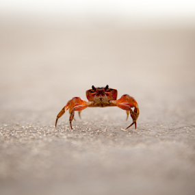 Crabby by Dimitri Foucault - Animals Sea Creatures ( animals, trip, crab )