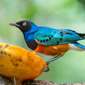 Superb Starling Eating Papaya by Shin Yee - Animals Birds