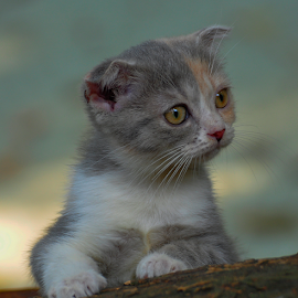 by Cacang Effendi - Animals - Cats Portraits ( cattery, kitten, cat, animals, chandra )