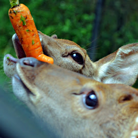 scrambling the carrot by Amril Abdullah - Animals Other Mammals