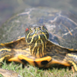 Turtle? by Elisabeth Opperthauser - Animals Reptiles