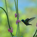Charming Hummingbird  or  Beryl-crowned Hummingbird