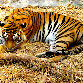 The sleeping Tiger by Santosh Kundum - Animals Lions, Tigers & Big Cats ( tiger )