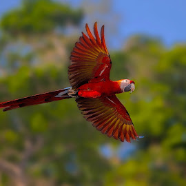 Red Beauty by Raymond Pauly - Animals Birds ( bird, wings, parrot, beautiful, wildlife, red green, feathers, in flight, macaw )