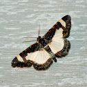 Common Spring Moth