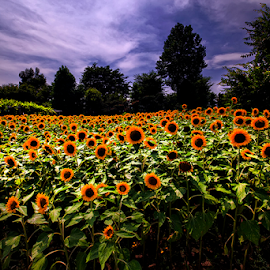 Sunflower by Nyoman Sundra - Landscapes Travel ( yamanashi, travel, landscape, place, flower )