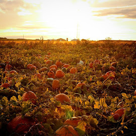 pumpkin field by Melissa Devine - Landscapes Prairies, Meadows & Fields ( fall, color, colorful, nature )