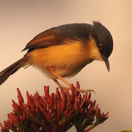 Ashy Prinia by Chandrashekhar Shirur - Animals Birds
