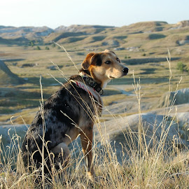 Catahoula pup sits proud in Badalnds by Tyler McLeod - Animals - Dogs Puppies ( lighting, buffalo gap, catahoula, background, south dakota, puppy, scenic, scenery, dog, badlands )