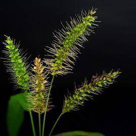 Grass flowers by Prasanta Das - Nature Up Close Leaves & Grasses ( grass, bunch, flowers )