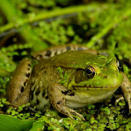 Fat Frog by Peggy LaFlesh - Animals Amphibians ( macro, frog, pond )