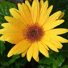 You Just Gotta Love These Daisies by Ed Hanson - Flowers Single Flower ( water drops, nature, yellow, close-up, flower )