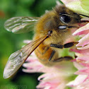 Western Honey Bee - worker
