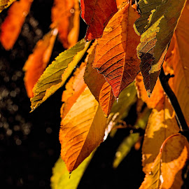 autumn leves by Vibeke Friis - Nature Up Close Leaves & Grasses ( autumn, drops, leaves, garden,  )