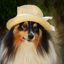 by Jane Bjerkli - Animals - Dogs Portraits ( pet, shetland sheepdog, dog, sheltie, animal,  )
