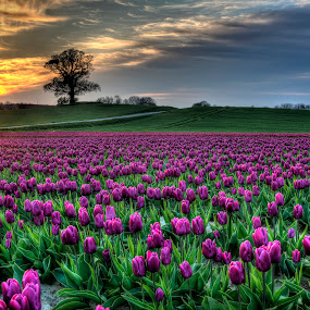 Tulips from Lolland  by Kim  Schou - Flowers Flower Gardens ( kim schou, hdr, sunset, oak, vesterborg, tulips, lolland,  )