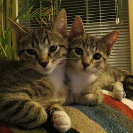 Kitty cat brotherly love by Beth Bowman - Animals - Cats Kittens