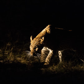 Stalking by Werner Booysen - Animals Lions, Tigers & Big Cats ( big cat, wild animal, wilderness, nature, night photography, zambia, safari, wildlife, nature photography, stalking, leopard, werner booysen )