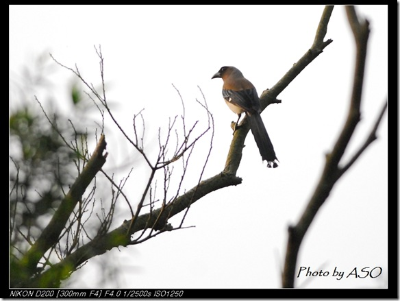 樹鵲(2008-04-05台北)0063