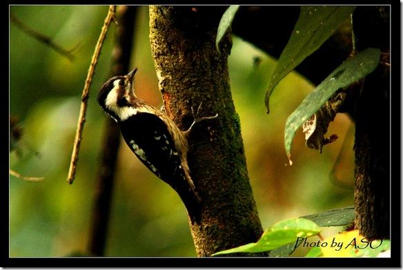 小啄木(2007-01-14壽豐林場)0090