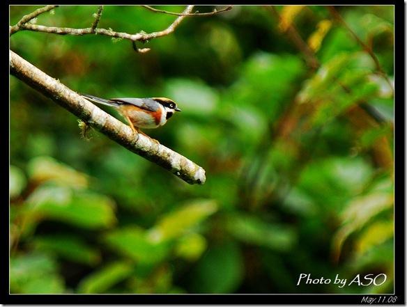 紅頭山雀(2008-05-11中橫公路)0337