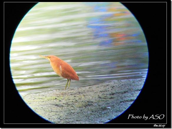 栗小鷺(2007-12-22美崙溪)
