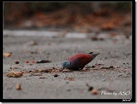 紅鳩(2008-07-21壽豐山邊路)0837