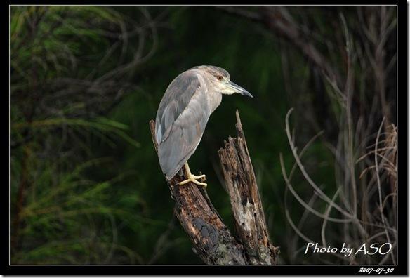 夜鷺(2008-07-30鰲鼓溼地)0328