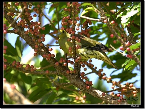 紅頭綠鳩(2008-10-17社頂)9108