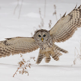 Barred Owl by Rolland Gelly - Animals Birds ( rolland )