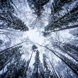 Up by Tzvika Stein - Nature Up Close Trees & Bushes ( winter, cold, lapland, trees, finland, forest, up,  )