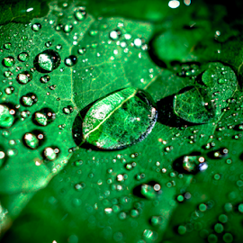 Leaf Water Drops by Kyle Volz - Nature Up Close Leaves & Grasses ( water, macro, nature, dew, drops, leaf, closeup,  )