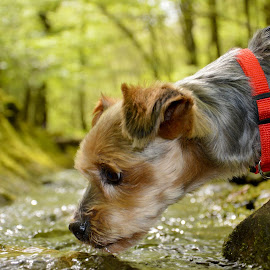 Dog Drinking by Darren Legg - Animals - Dogs Portraits ( water, forest of dean, yorkshire terrier, drinking, portrait,  )