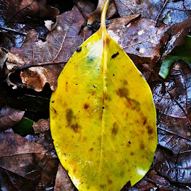 Yellow leaf by Dobrin Anca - Nature Up Close Leaves & Grasses ( windy, brittany, yellow, leaf, walk )